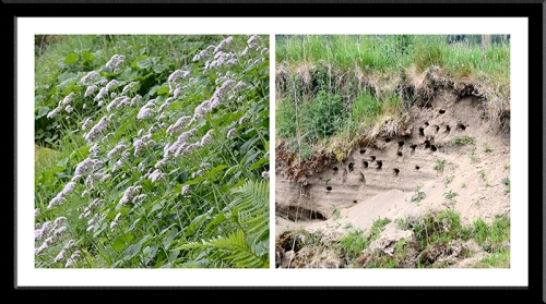 Pyrenean Valerian and sand martins' nests