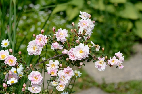 Scotch roses