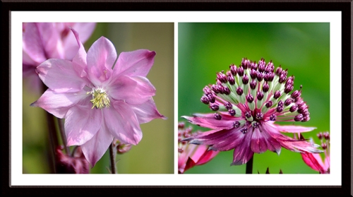 aquilegia and astrantia