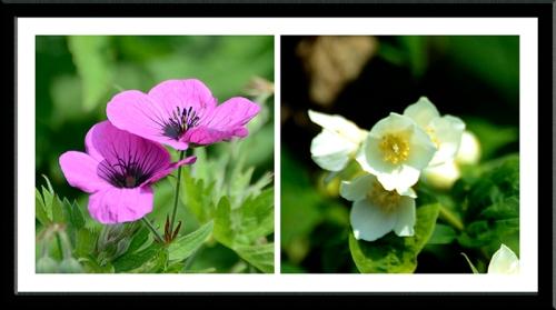 geranium and philadelphus
