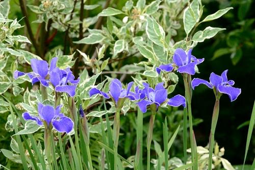 white lined iris