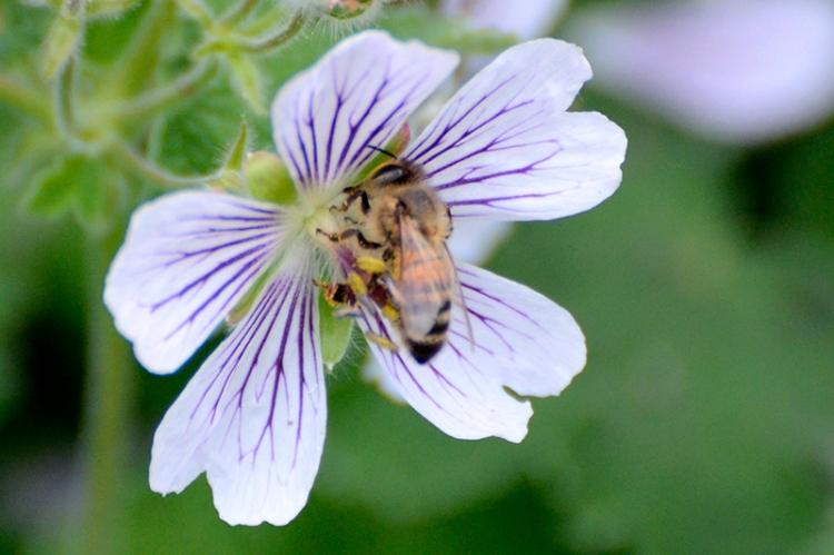 bee on geranium
