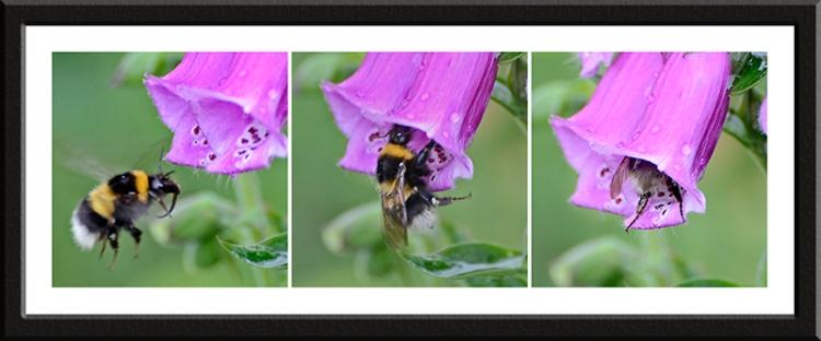 bee on foxglove