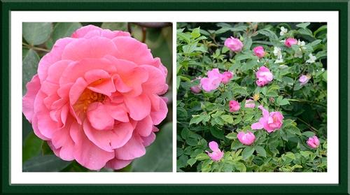 lilian austin and rosa complicata