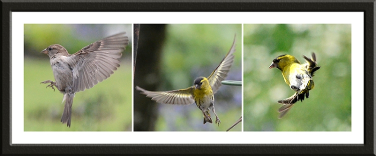 sparrow and two siskins flying