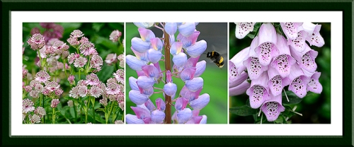 astrantia, lupin and foxglove