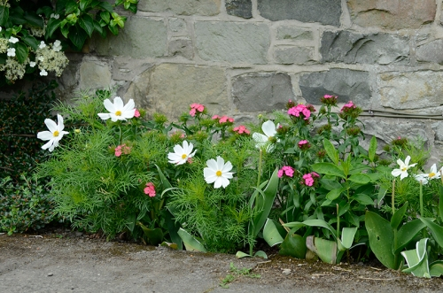 cosmos and sweet william