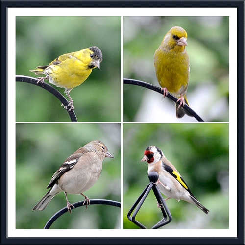siskin, greenfinch, goldfinch and chafinch