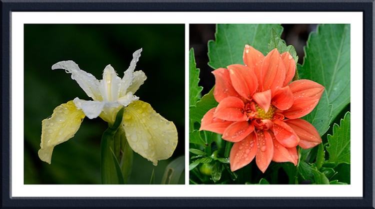 iris and dahlia