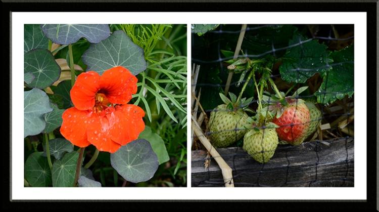 nasturtium and strawberry