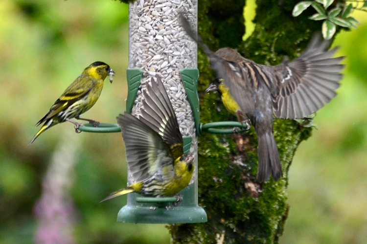 siskins and sparrow