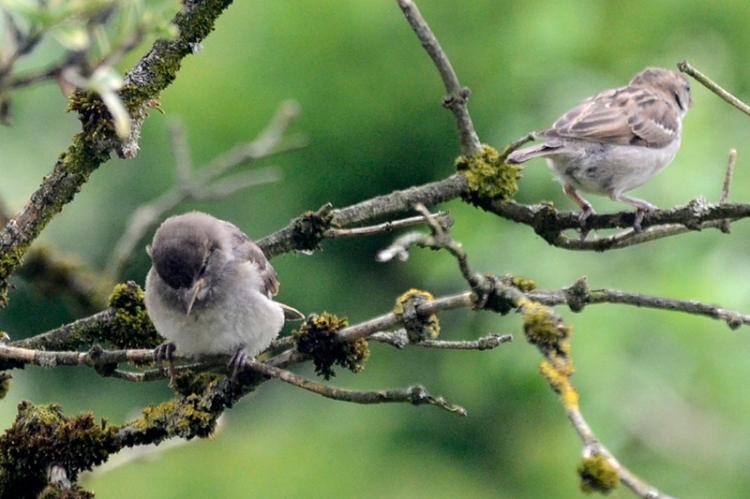 Elder sparrows
