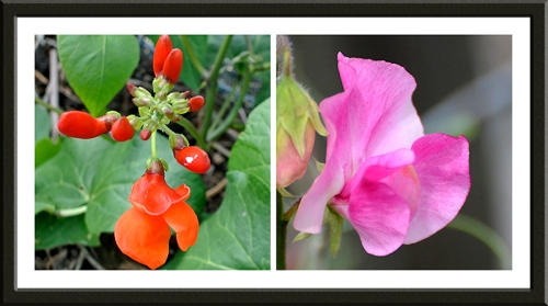 runner bean and sweet pea