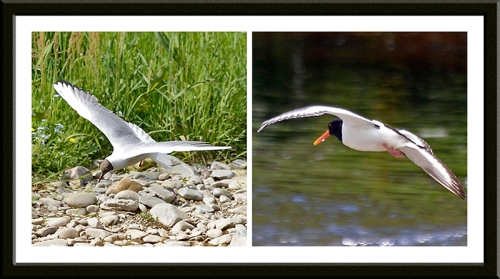 flying gull and oystercatcher