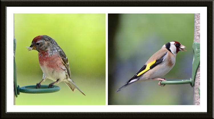 redpoll and goldfinch