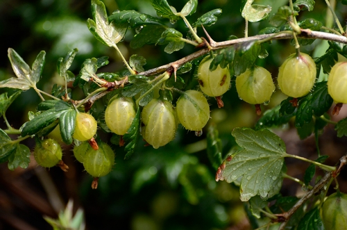 gooseberry