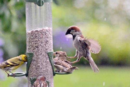 sparrow trampling