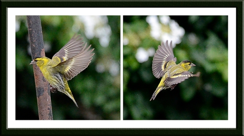 flying siskins