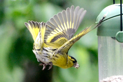 siskin flying