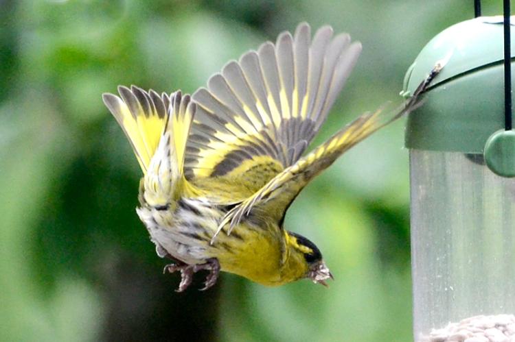 siskin flying