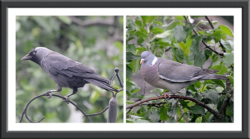 Jackdaw and wood pigeon