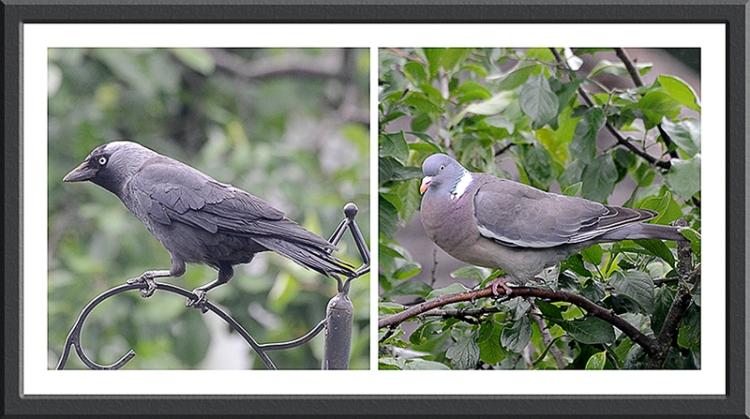 Jackdaw and wood pigeon