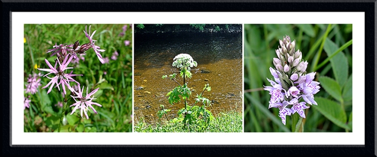 ragged robin, hogweed and orchid