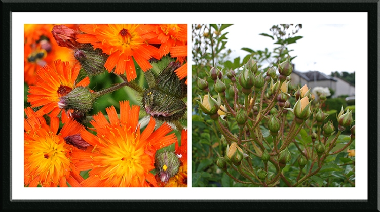 hawkweed and Goldfinch rose