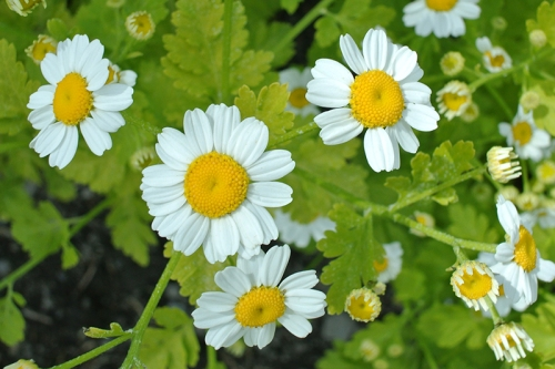 small daisies
