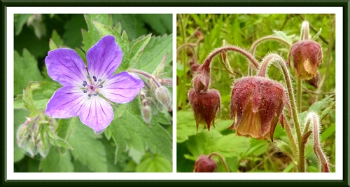 geranium and geum