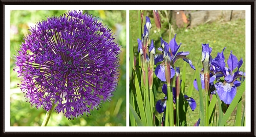 allium and iris
