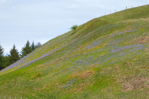 bluebells on Wauchope road