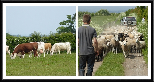 cattle and sheep Burgh-by-Sands
