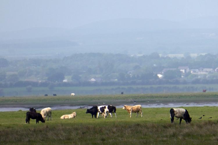 cattle on Burgh Marsh
