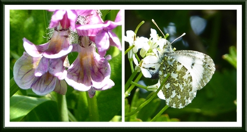 vetch and orange tip butterfly