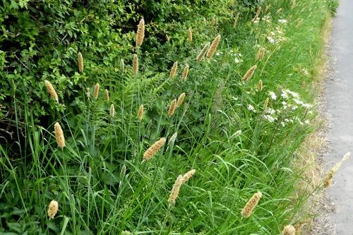 fox tail grass
