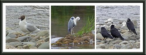 black headed gull, heron and rooks