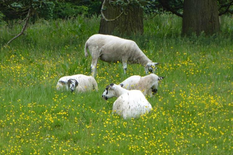 sheep on castleholm