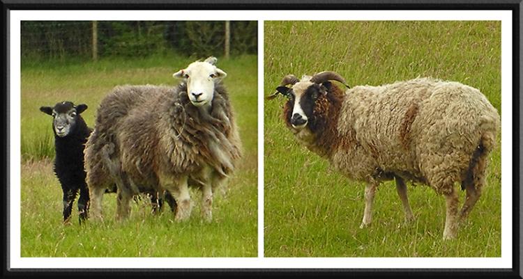 sheep at talkin