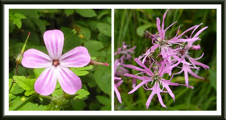 pink flower and ragged robin