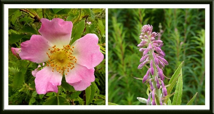 rose and rosebay willowherb