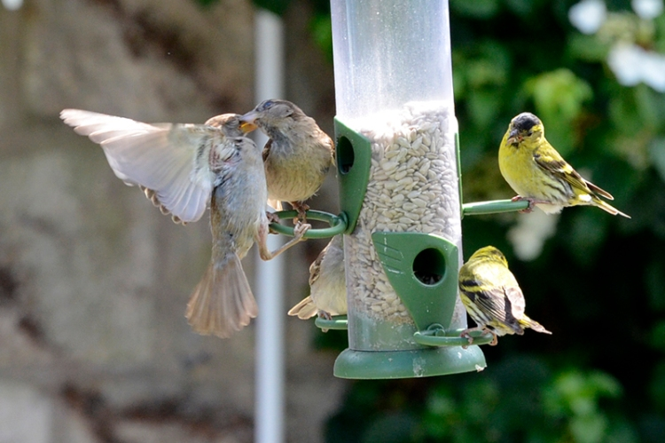 sparrows sparring