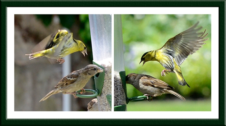 siskin and sparrows