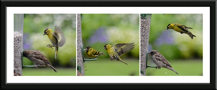 following siskins