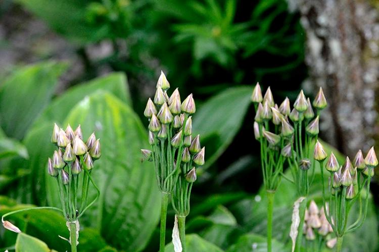 nectaroscordum castle of flowers