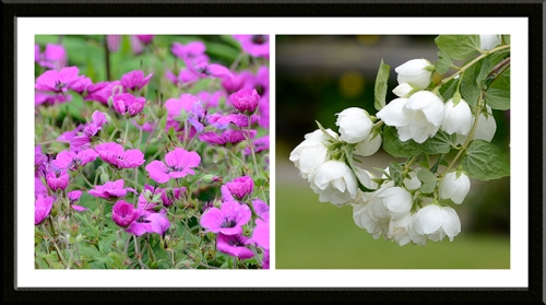 geraniums and philadelphus