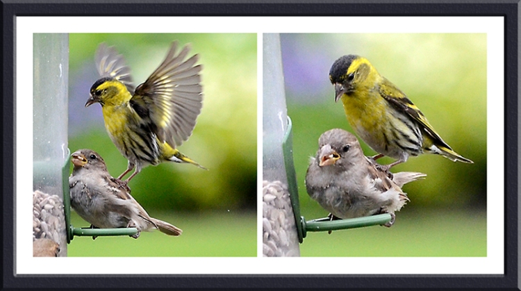 siskins and sparrow stamping
