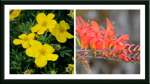 crocosmia and potentilla