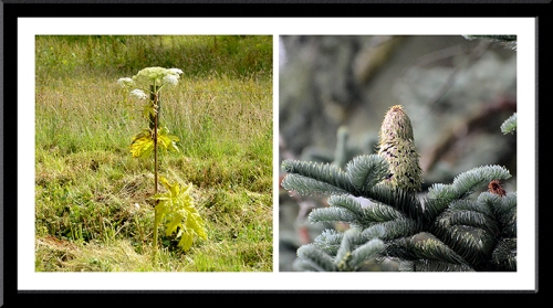Giant hogweed and noble fir cone