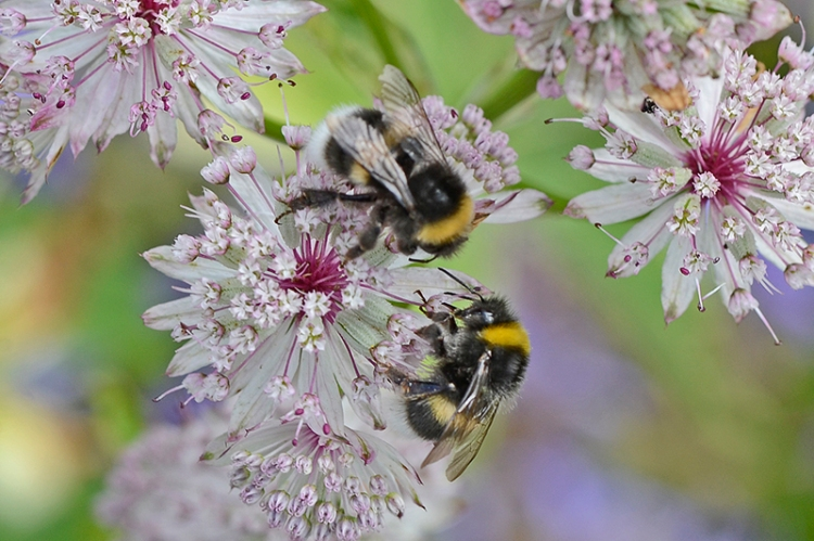 astrantia with bees